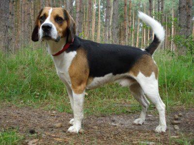 Beagle chien de chasse courant