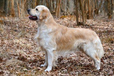 chien golden retriever chasse rapporteur