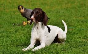 chien pointer anglais coucher