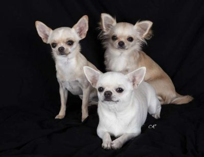 Chihuahuas chien aboie beaucoup