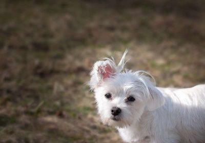chiens maltais aboie le plus