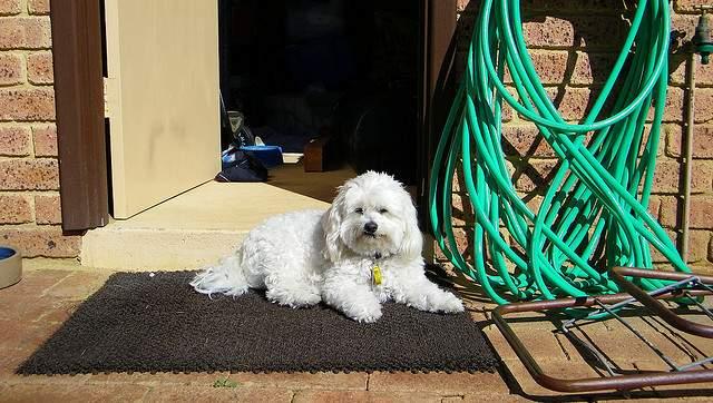 chien en securité sur son tapis